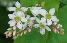 Kwiat gryki_1